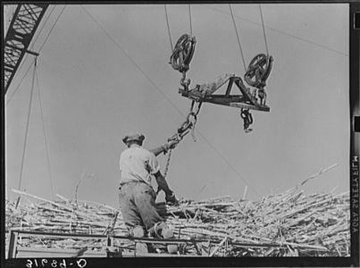 Man Atop Sugarcane Truck